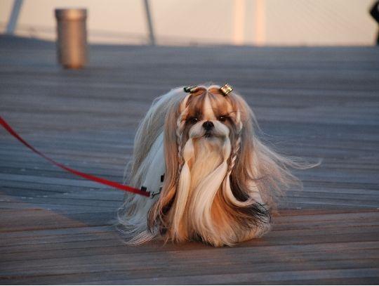 Dog hair style 2