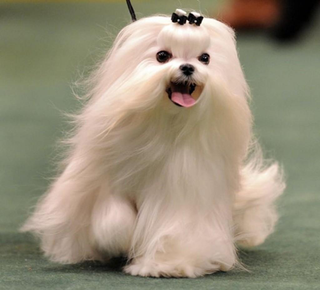 Dog hair style 28