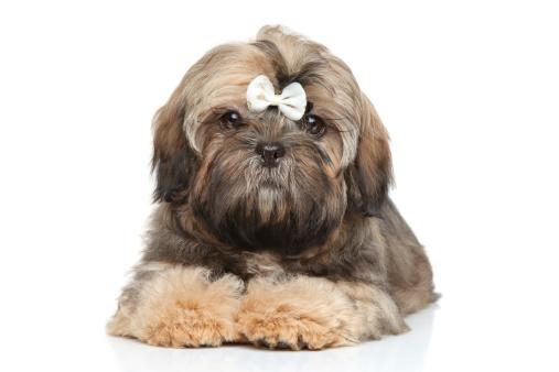 Dog hair style 33