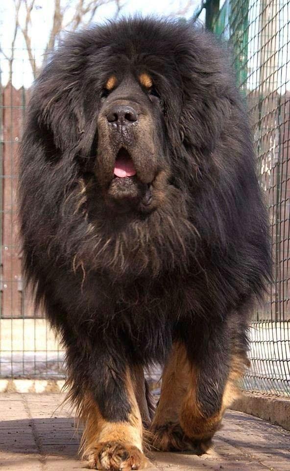 HUGE DOG2