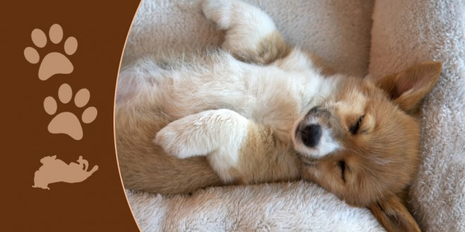 Cutest Sleeping Dogs On The Internet DogExpress - 30 adorable dogs sleeping awkward positions