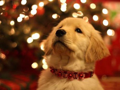 Christmas-dog-11