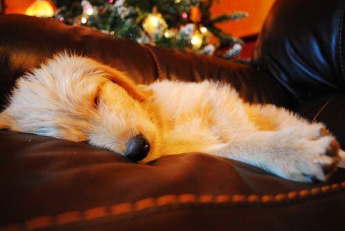 christmas-dogs-14