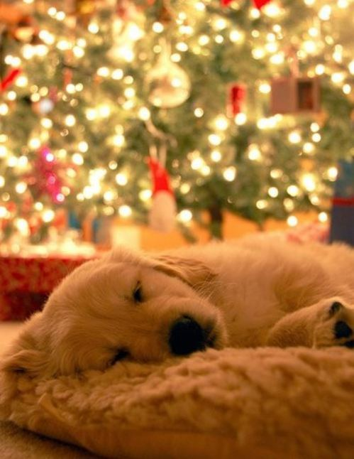 christmas-dogs-21