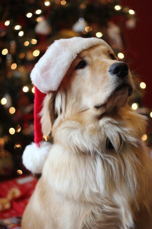 christmas-dogs-23