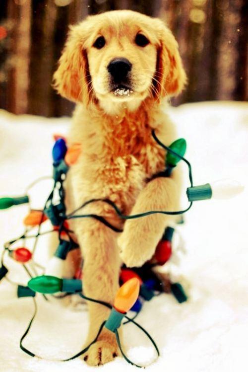 christmas-dogs-24