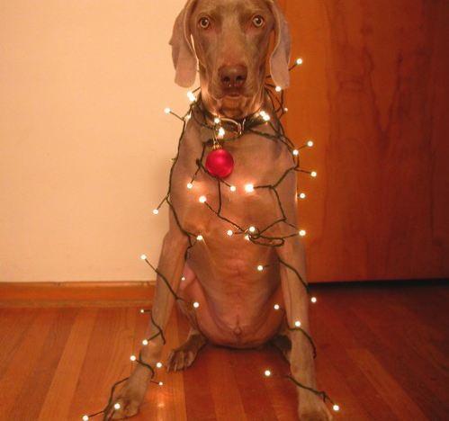 christmas-dogs-5