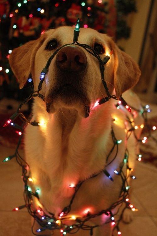 christmas-dogs-8
