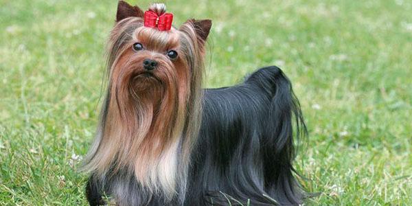 Yorkshire Terrier Dogexpress