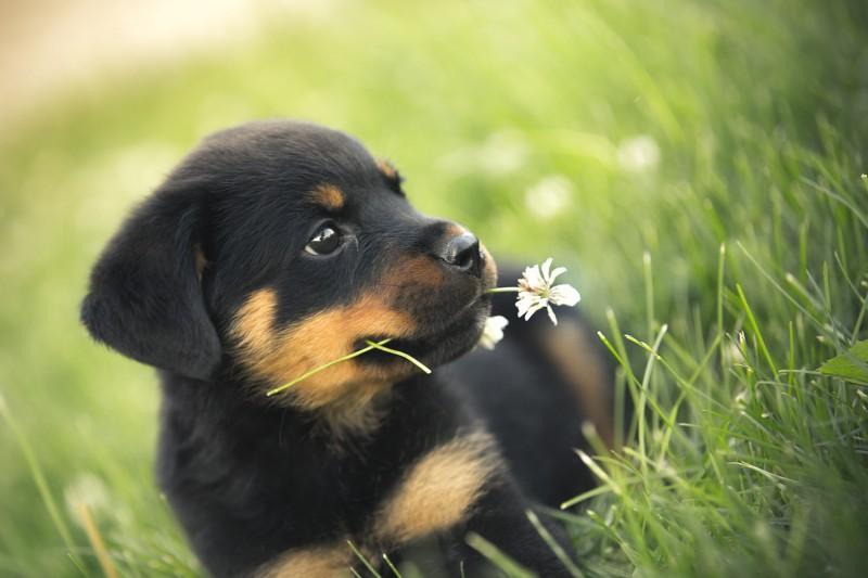 Rottweiler Dog Breed Information Images Price Dogexpress