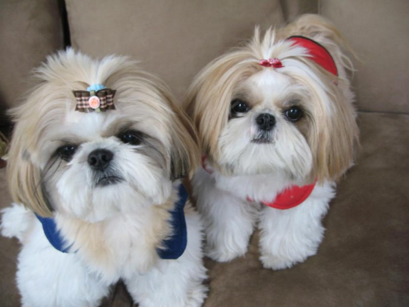Shih Tzu Dog Breed Information Price Images Dogexpress