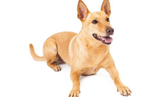 Pariah Indian Dog Breed