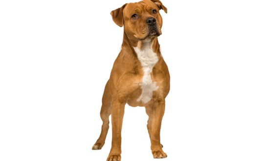 american pit bull terrier temperament pictures dogexpress