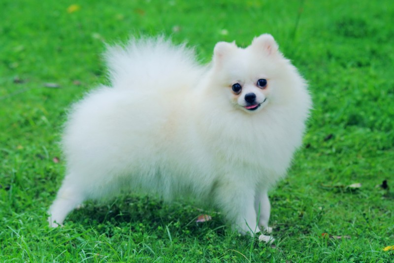 white pomeranian puppies price pomeranian dogexpress 1372