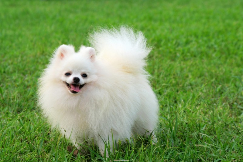 Top German Spitz Canine Adorable Dog - White-Pomeranian-Dog-e1457004845108  Collection_421171  .jpg
