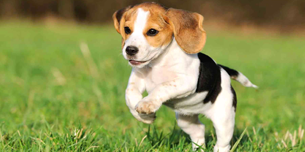 Beagle Dog Breed Information Health Pictures Dogexpress