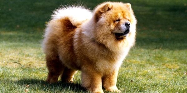 Chow Chow Dog Information Grooming Dog Food Dogexpress