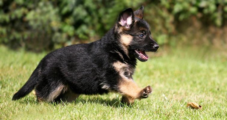 cute-german-shepherd-puppies