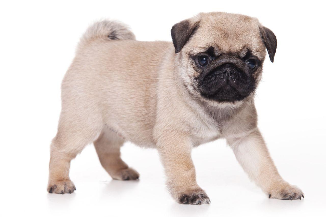Pug Dog Information Temperament Images Dogexpress