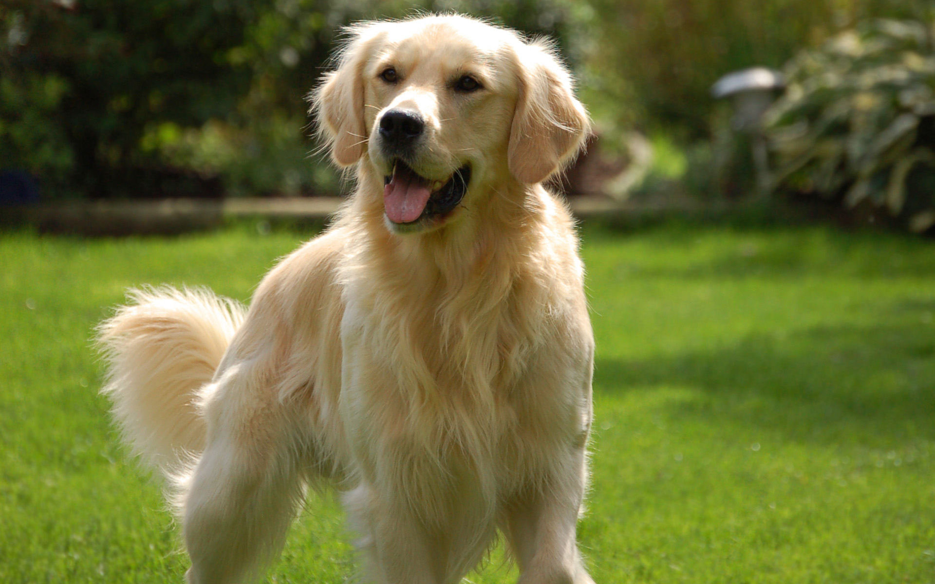 Golden Retriever Dog Information Pictures Dogexpress