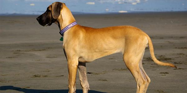 Great Dane Dog Informationpictures Dogexpress