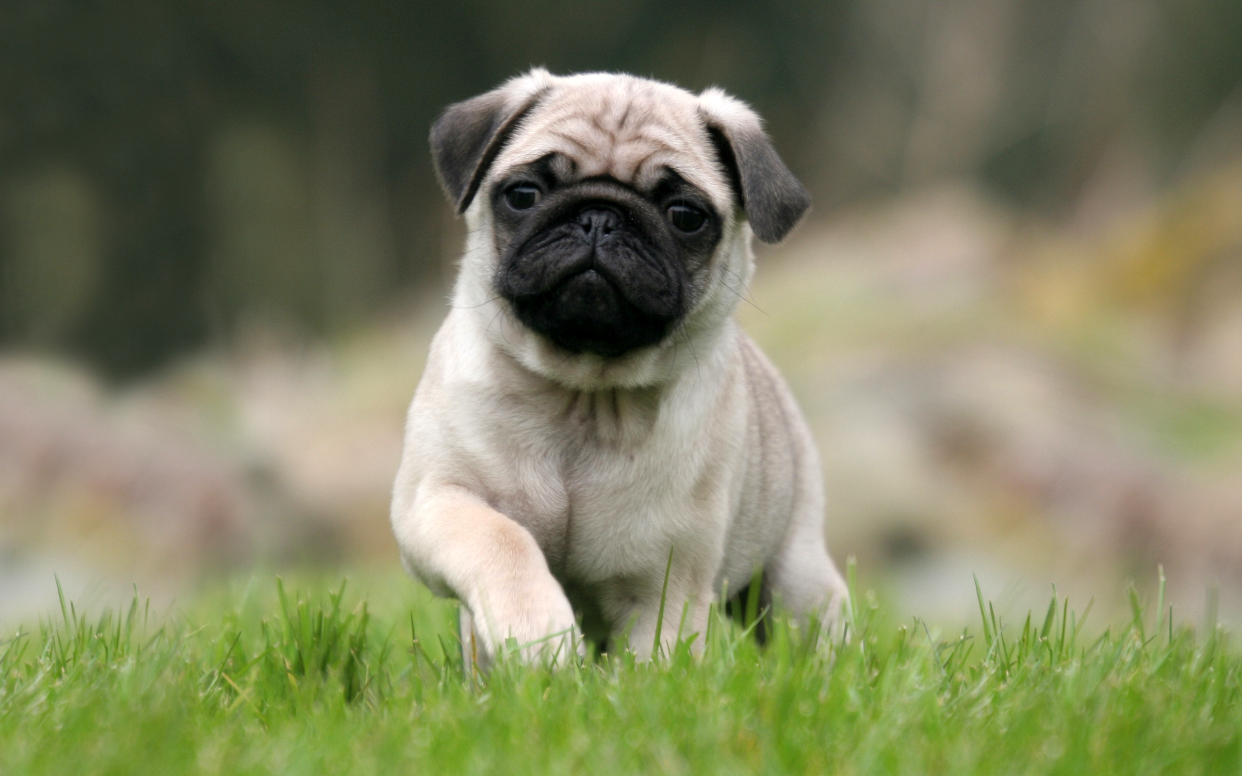 pug dog information temperament images dogexpress