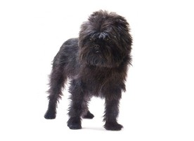 Affenpinscher Dog Breeders