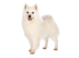 American Eskimo dog breed