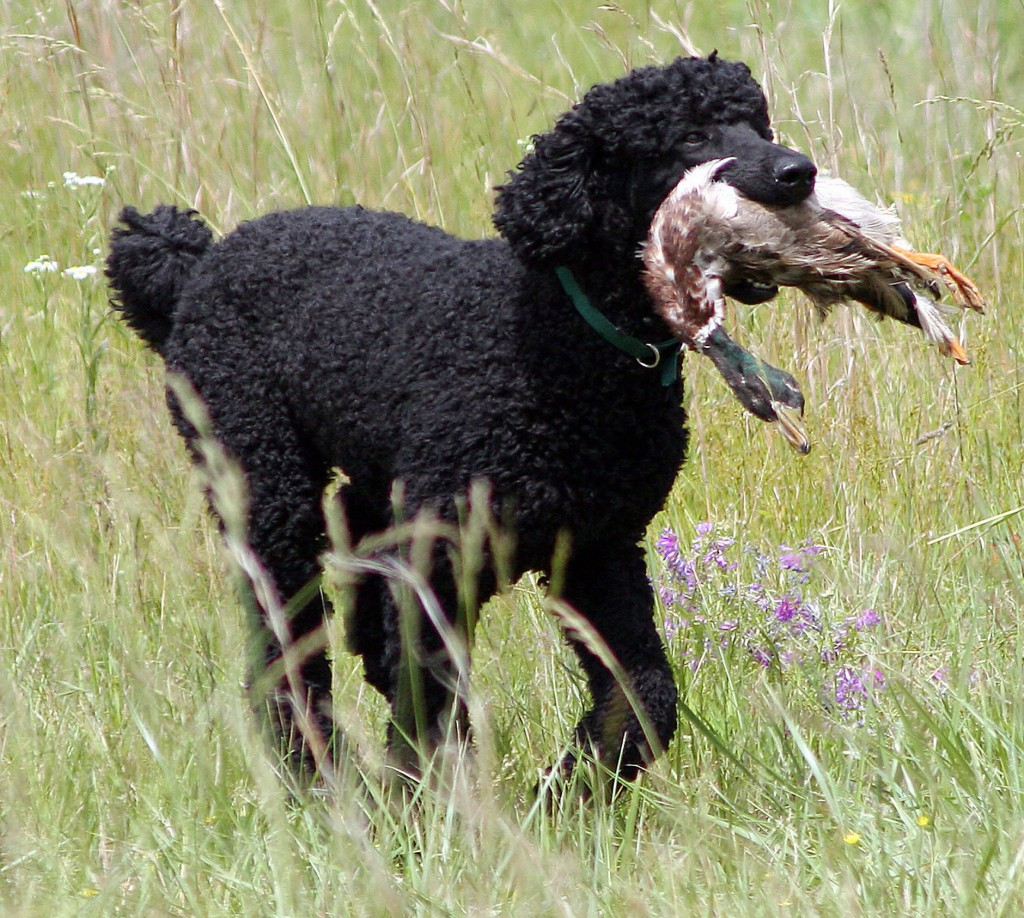 Black-poodle-hunt
