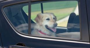 DOG IN HOT CARS