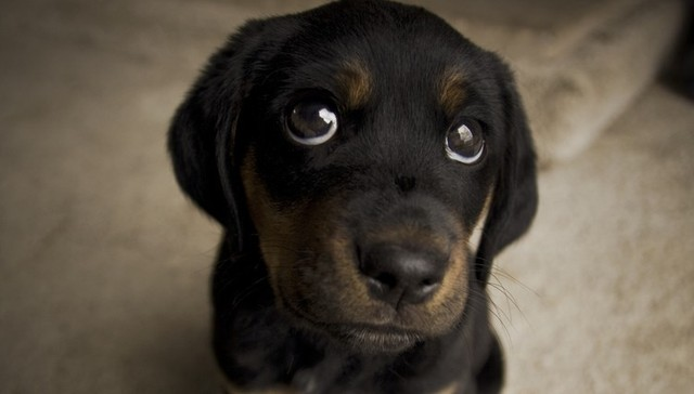 Dogs Do Not Feel Guilt But They Can Get Extremely Jealous Researchers Have Also Found Out That Those Puppy Dog Eyes Give Sometimes Are A Sign