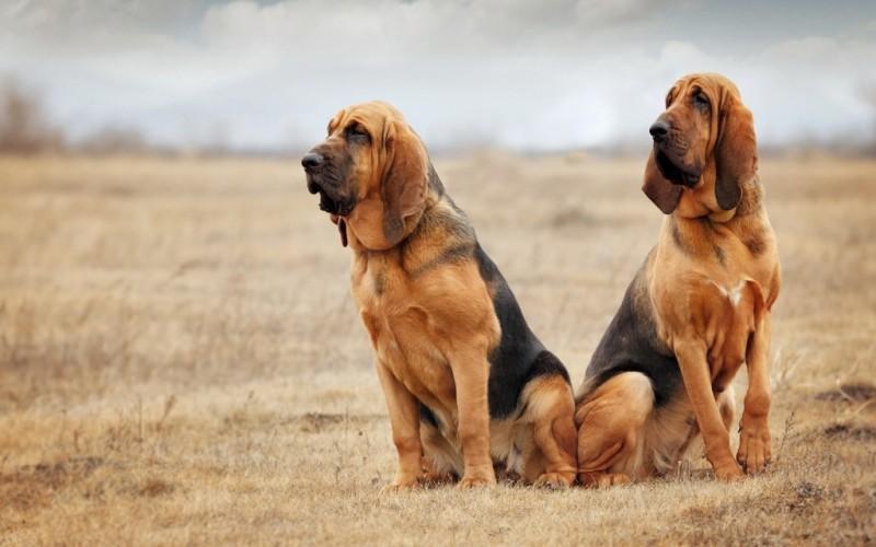 Bloodhound Dogexpress