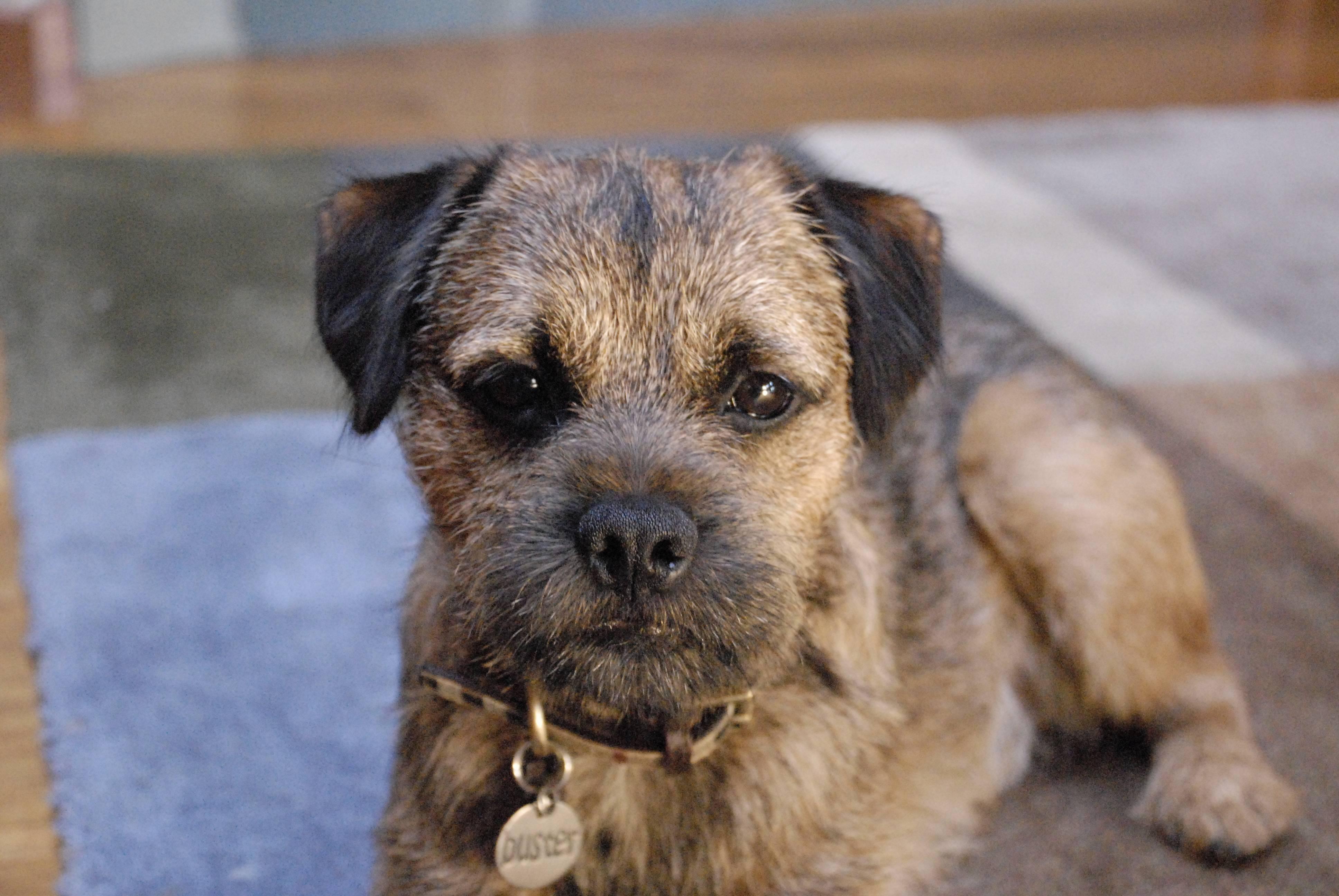Border Terrier | DogExpress | Border Terrier Puppies Rescue Uk