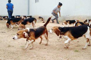 beagle adoption bangalore