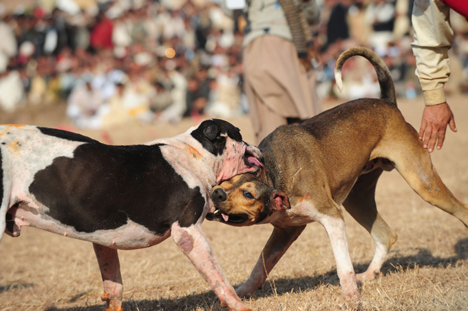 imported dog breeds fighting