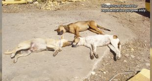 3 stray dogs shot dead