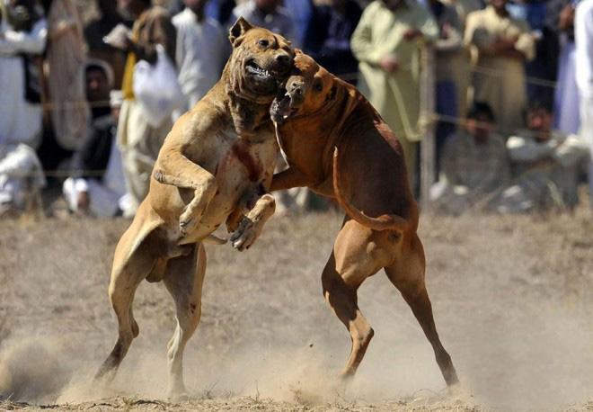 Pitbull Dog Fighting Continues In Mullanpur, Punjab ... - photo#9