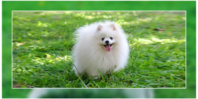 how to take care of a pomeranian puppy how to take care of a pomeranian puppy dogexpress 9355