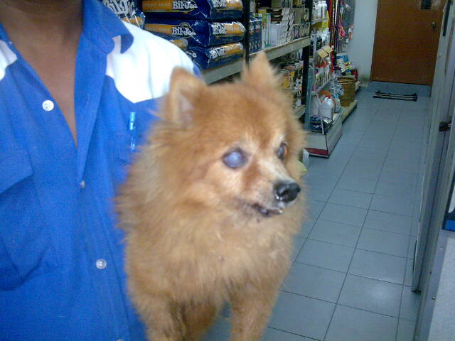 Health Problems In Pomeranians_3