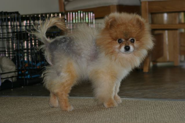 Health Problems In Pomeranians_4