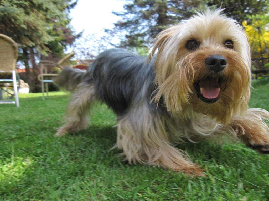 Yorkshire Terrier- Loudest Dog Breeds