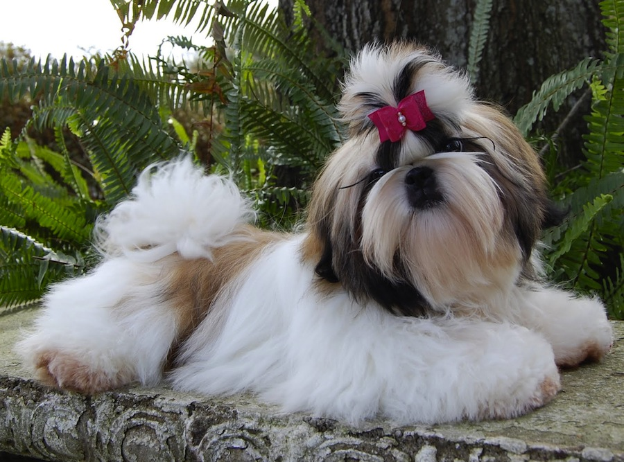 Top 5 Toy Dog Breeds For Apartment Living In India ...
