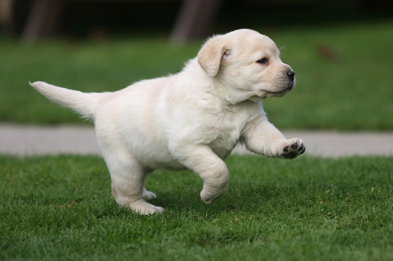 How Much Exercise Does A Labrador Require? | DogExpress