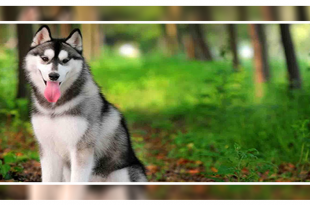 Is A Siberian Husky Right for You?
