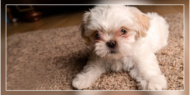 top 5 toy dog breeds for apartment living in india dogexpress