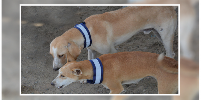 Reflective Collars Helping Stray Dogs In Bengaluru