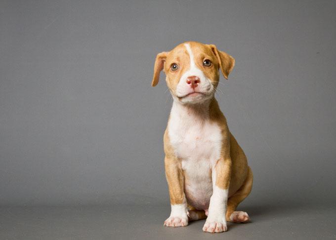 do pitbulls have lock jaw,