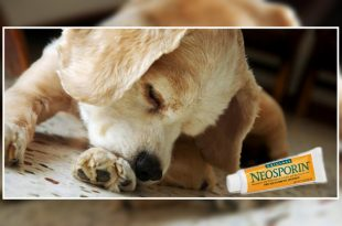 Neosporin and dogs