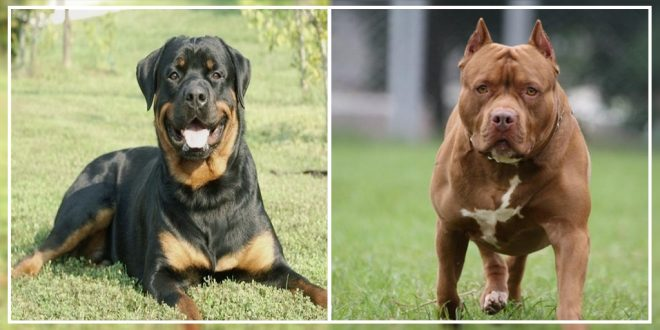 Are Pit Bulls And Rottweilers The Right Choice As Guard Dogs In