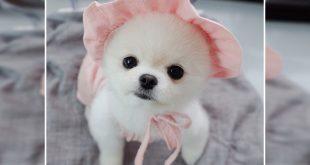 Pomeranian cost In India